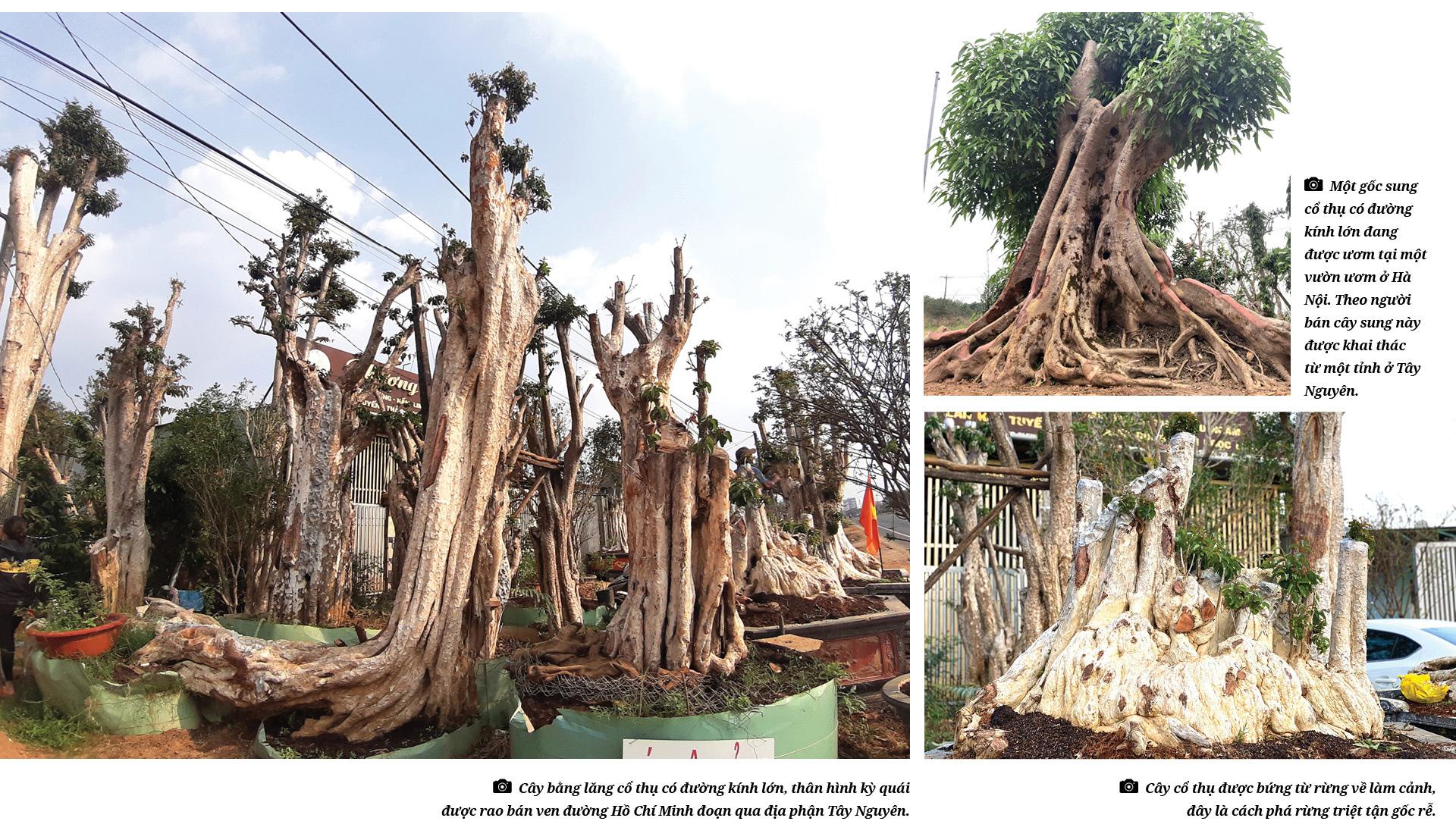 Thủ đoạn hô biến rừng cây cổ thụ (Bài 4): Thú chơi cây cổ thụ đang tàn phá rừng như thế nào? - Ảnh 4.