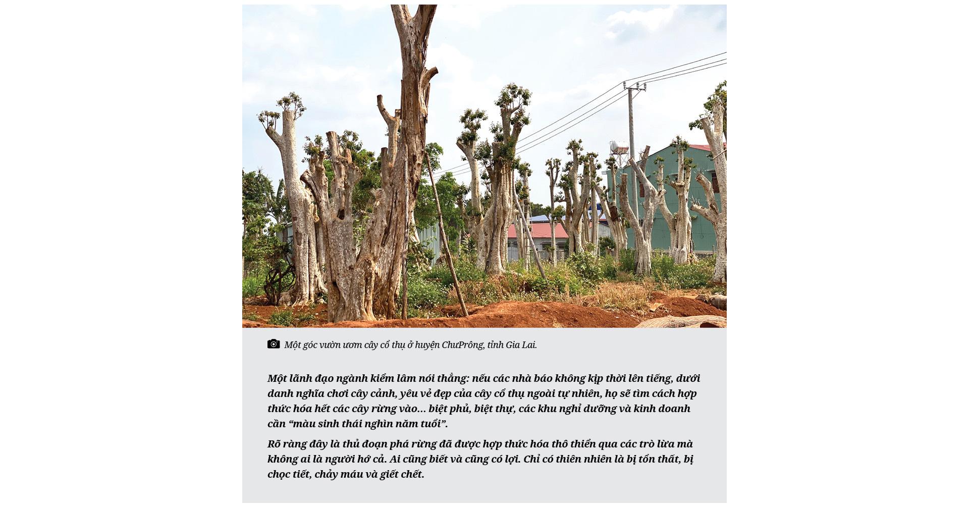 Thủ đoạn hô biến rừng cây cổ thụ (Bài 4): Thú chơi cây cổ thụ đang tàn phá rừng như thế nào? - Ảnh 6.