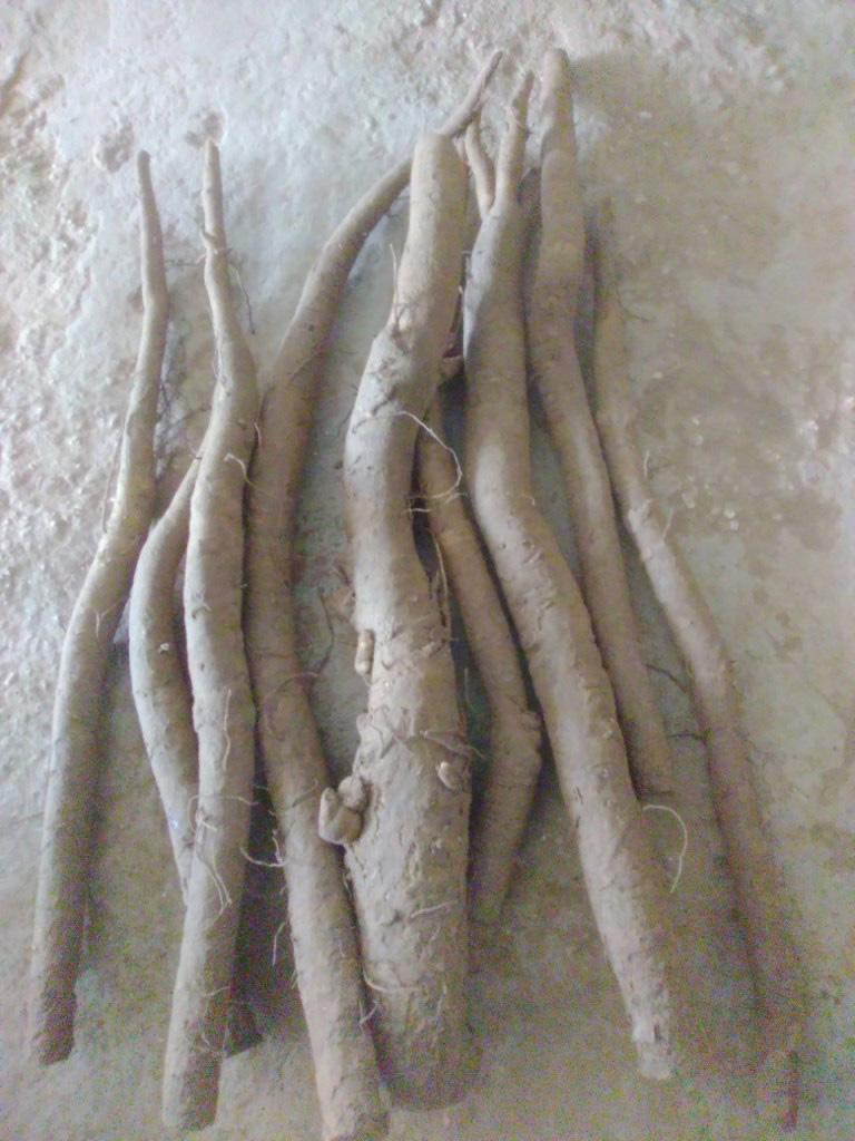 Hải Dương: Đánh liều trồng thứ cây lạ hoắc, lá to như quạt mo, đào củ dài 1,2m phải dùng máy xúc - Ảnh 1.