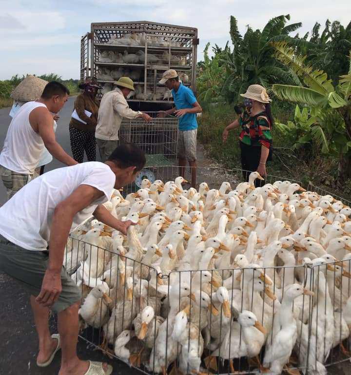 Giá gia cầm hôm nay 27/4: Giá gà công nghiệp giảm nhẹ, nhiều người nuôi vịt miền Bắc kêu khó bán - Ảnh 2.