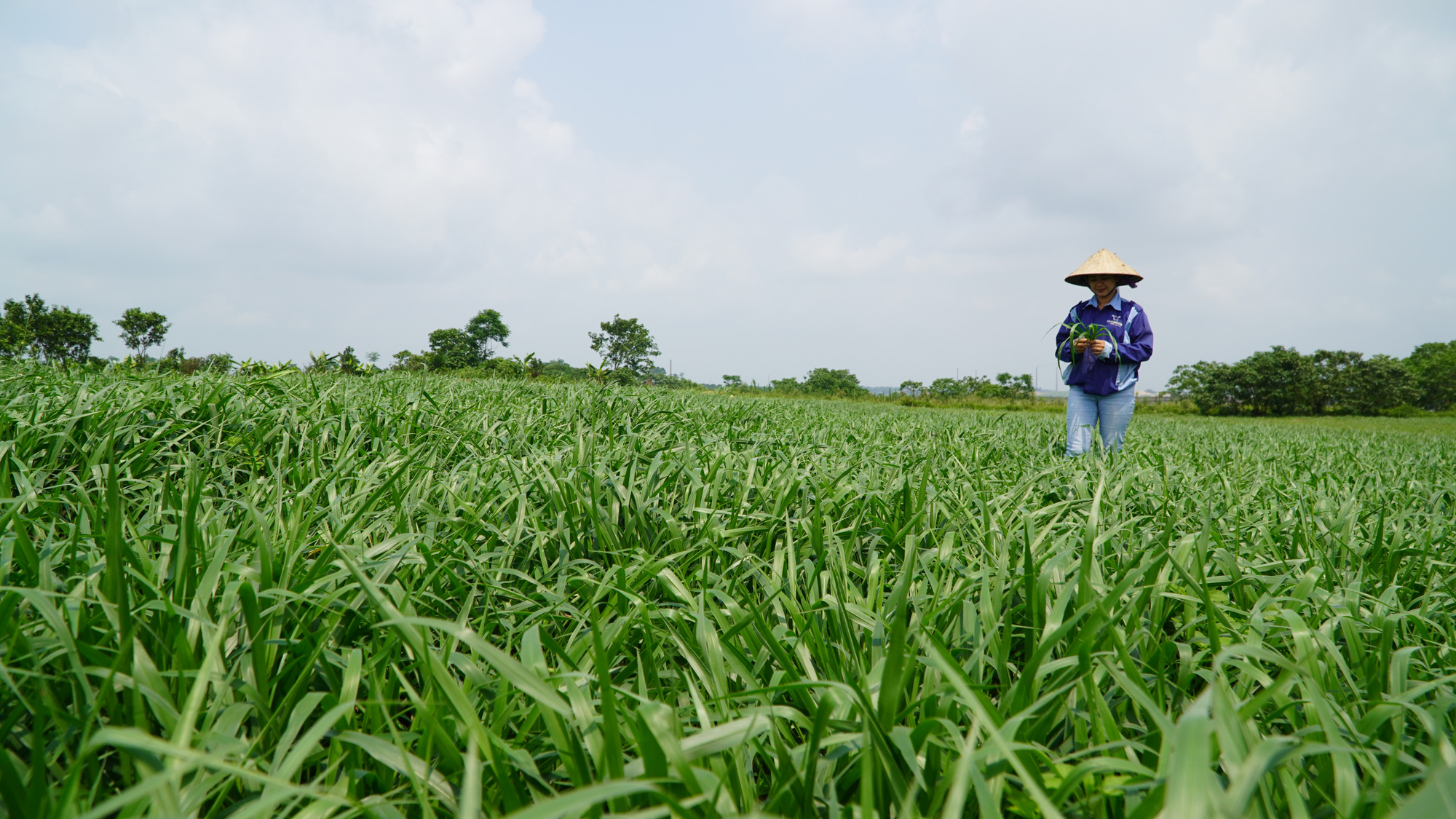 Cô gái 8X trồng cỏ nuôi bò, hiện thực giấc mơ tạo dòng sữa sạch - Ảnh 4.