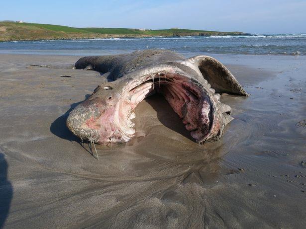 Xác của con cá mập dài hơn 7 mét trên bờ biển làm dấy lên nhiều nghi vấn  - Ảnh 1.