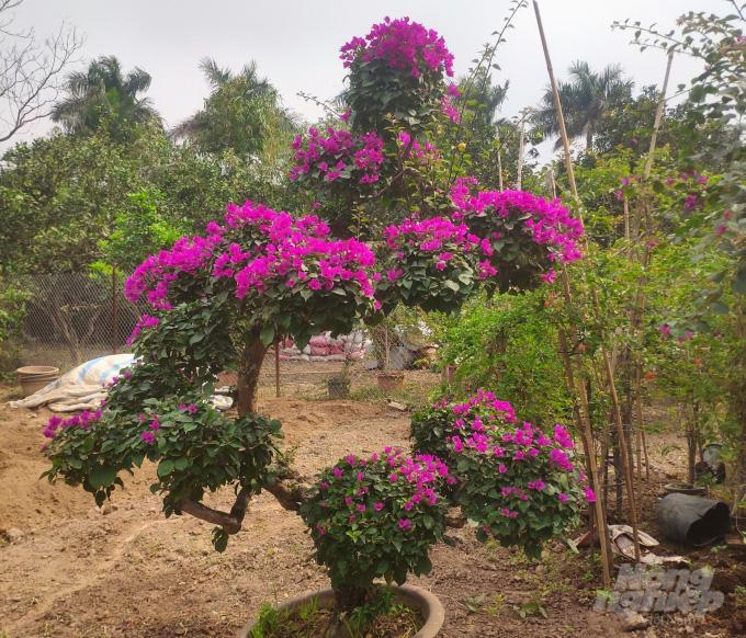 Xã nào ở Hà Nội đang thu 60 - 80 tỷ đồng/năm từ trồng hoa giấy? - Ảnh 3.