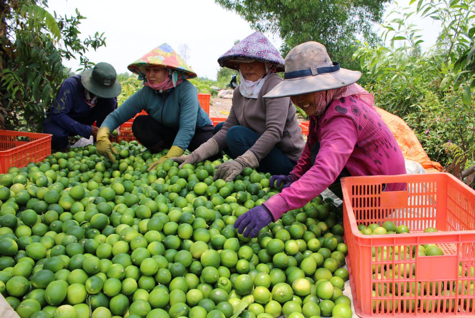 """Trồng chanh kiểu """"xịn xò"""" này, nông dân Bến Lức tha hồ đem chanh Việt xuất sang trời Âu - Ảnh 1."""