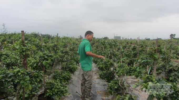 Xã nào ở Hà Nội đang thu 60 - 80 tỷ đồng/năm từ trồng hoa giấy? - Ảnh 1.