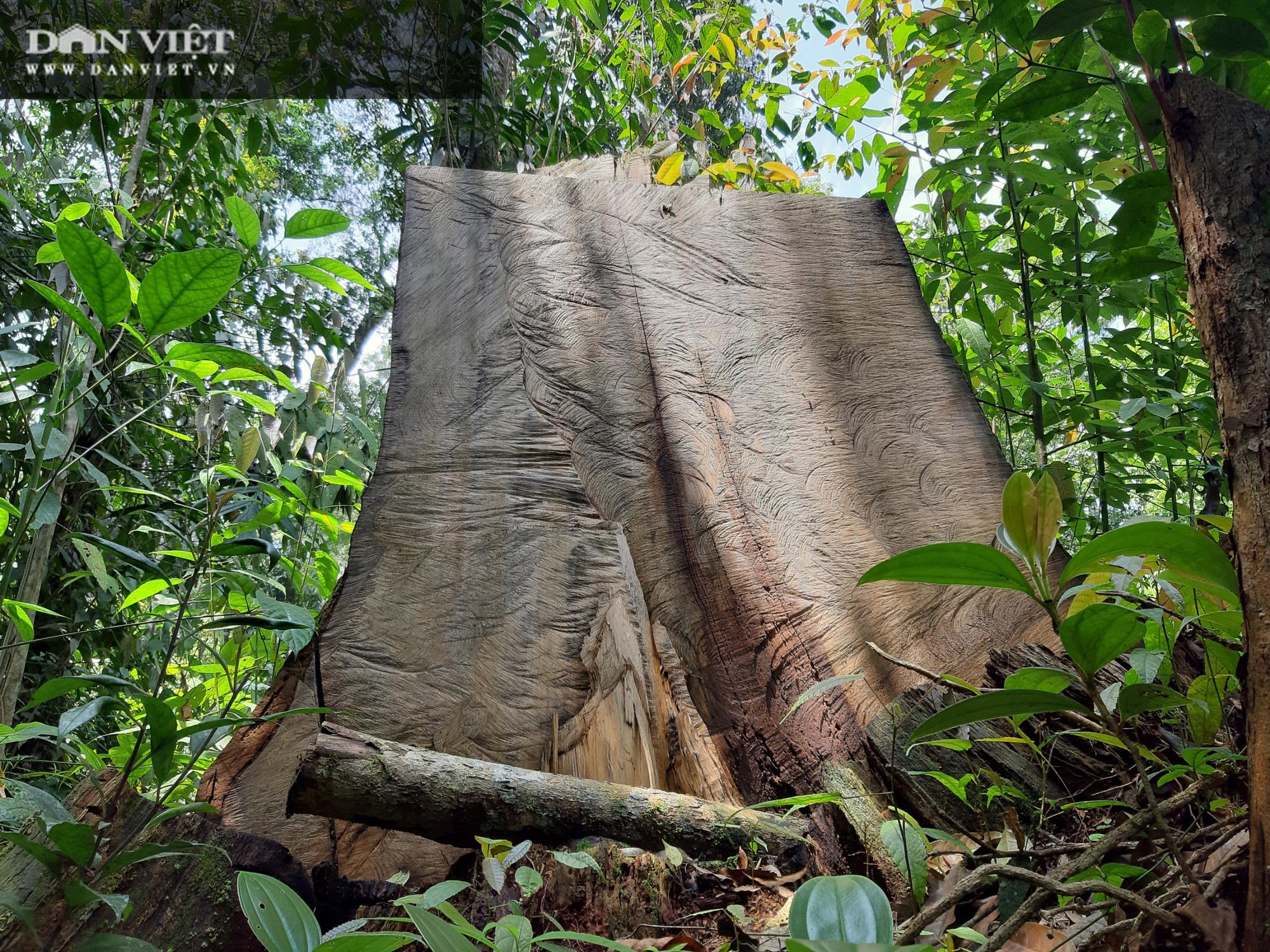 Video điều tra: Gỗ pơ mu từ rừng xanh đến tổng kho buôn gỗ - Ảnh 2.