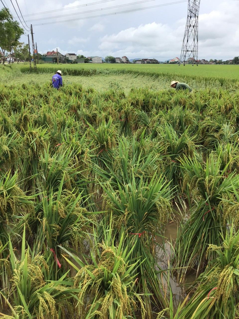 Hà Tĩnh: Sau trận mưa lớn, nhiều diện tích lúa bị ngã đổ - Ảnh 5.