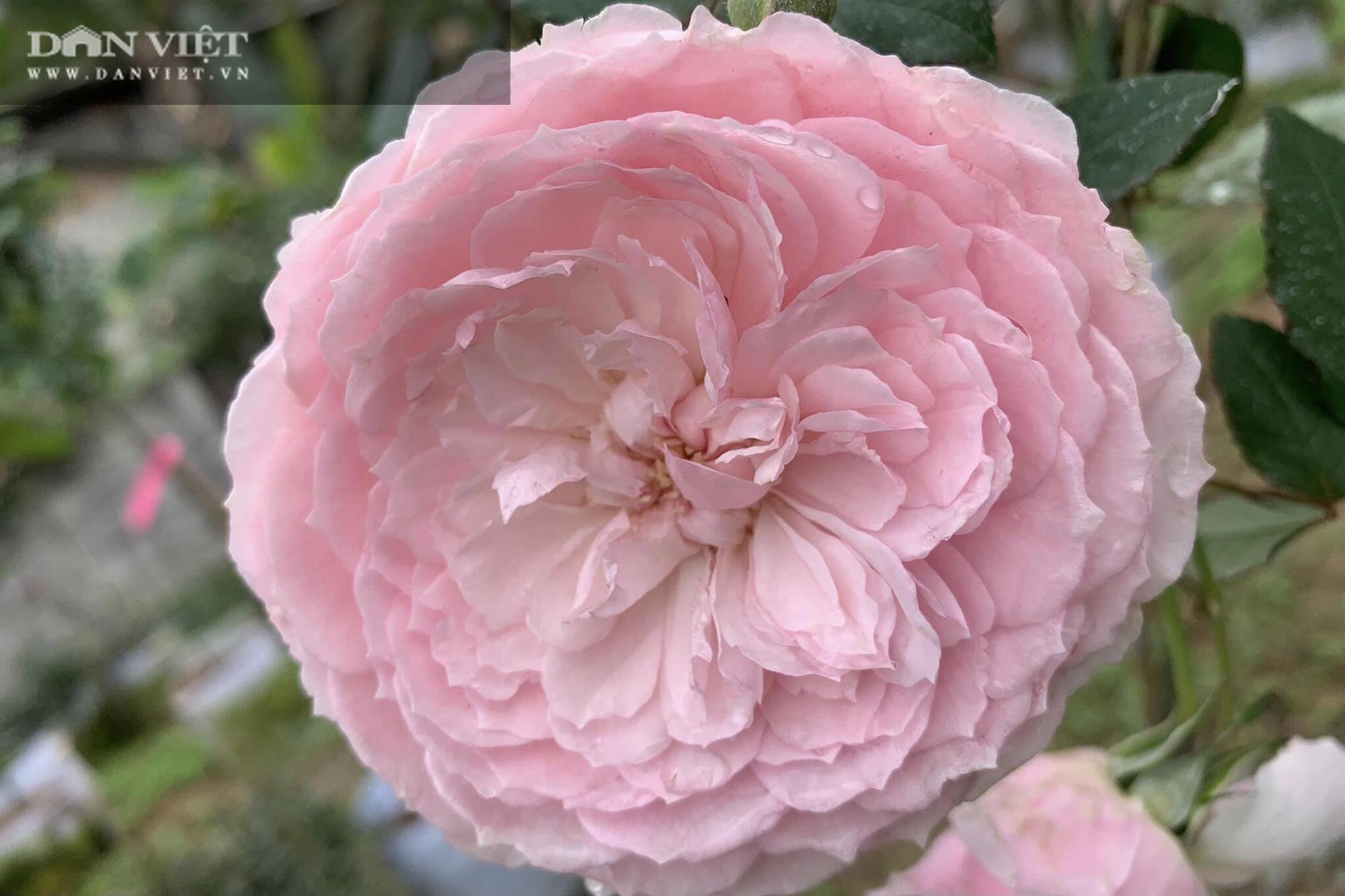 """Thái Nguyên: Trai trẻ 8X """"gác"""" bằng đại học về quê trồng thứ hoa thơm ngát cả vùng, kiếm hàng chục triệu đồng mỗi tháng - Ảnh 8."""