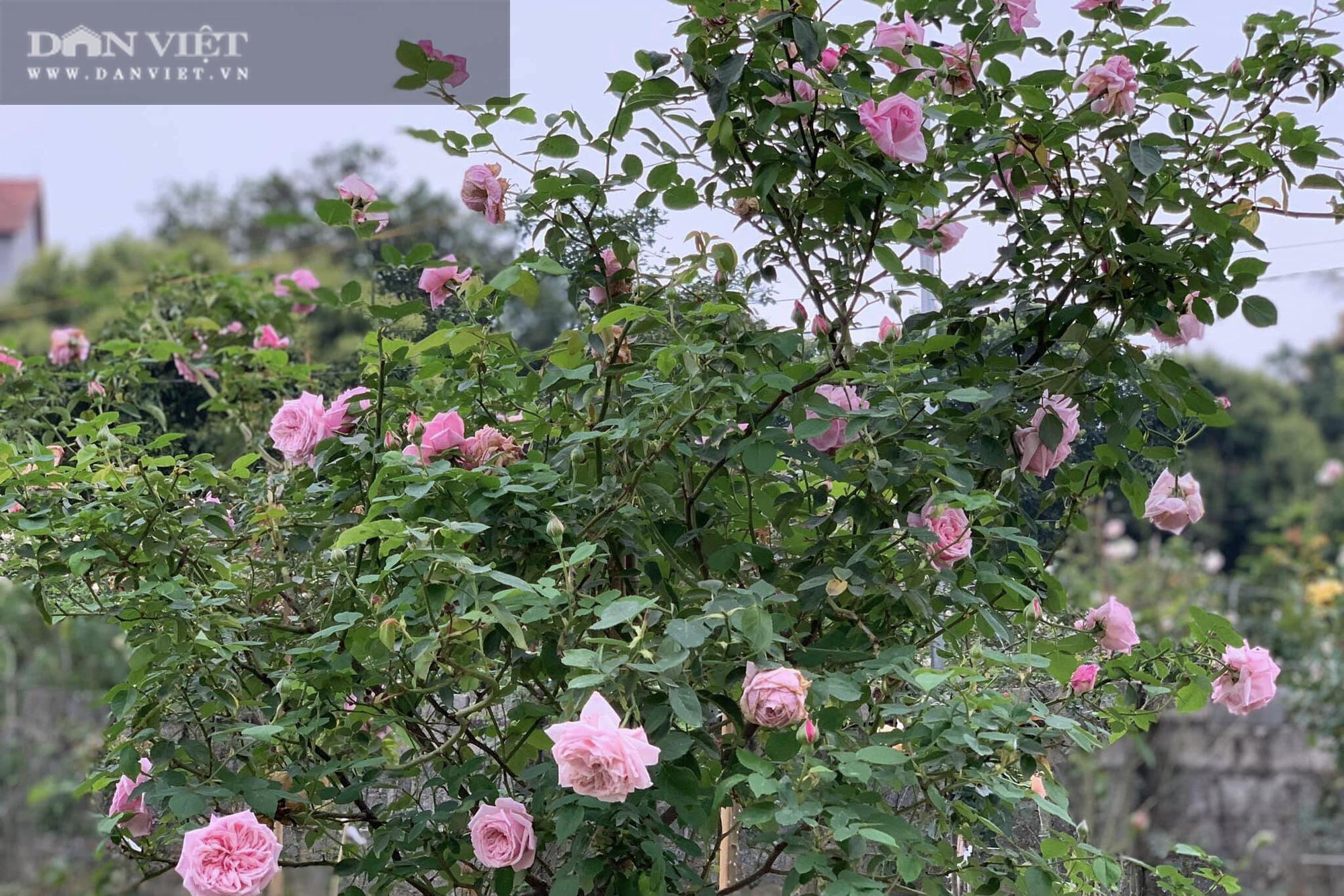 """Thái Nguyên: Trai trẻ 8X """"gác"""" bằng đại học về quê trồng thứ hoa thơm ngát cả vùng, kiếm hàng chục triệu đồng mỗi tháng - Ảnh 5."""