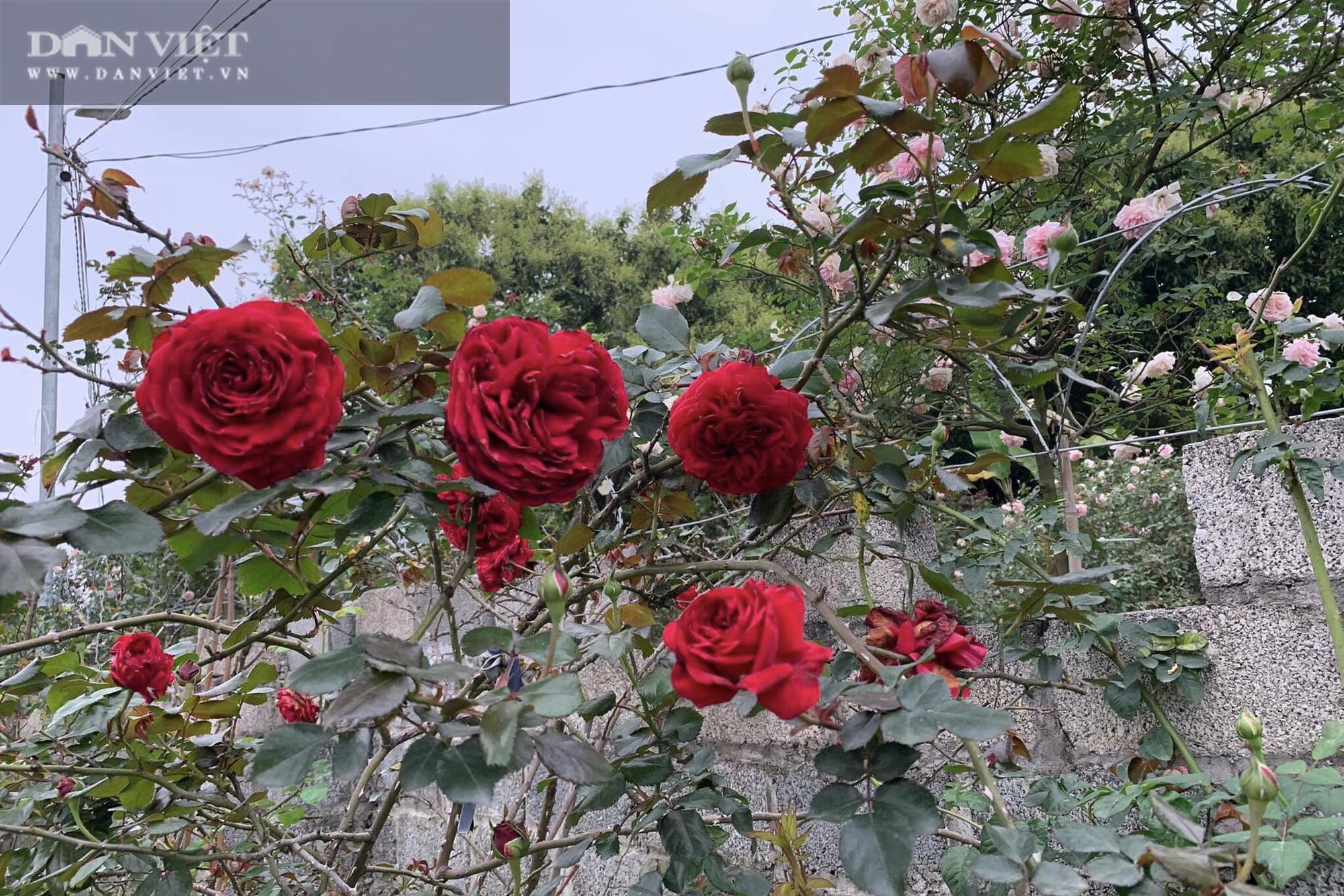 """Thái Nguyên: Trai trẻ 8X """"gác"""" bằng đại học về quê trồng thứ hoa thơm ngát cả vùng, kiếm hàng chục triệu đồng mỗi tháng - Ảnh 6."""
