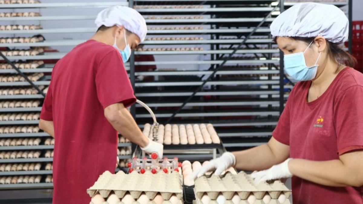 Những trại gà khổng lồ, hiện đại được xây dựng khắp nơi, thịt gà Việt Nam sẽ bán đi nhiều nước? - Ảnh 1.