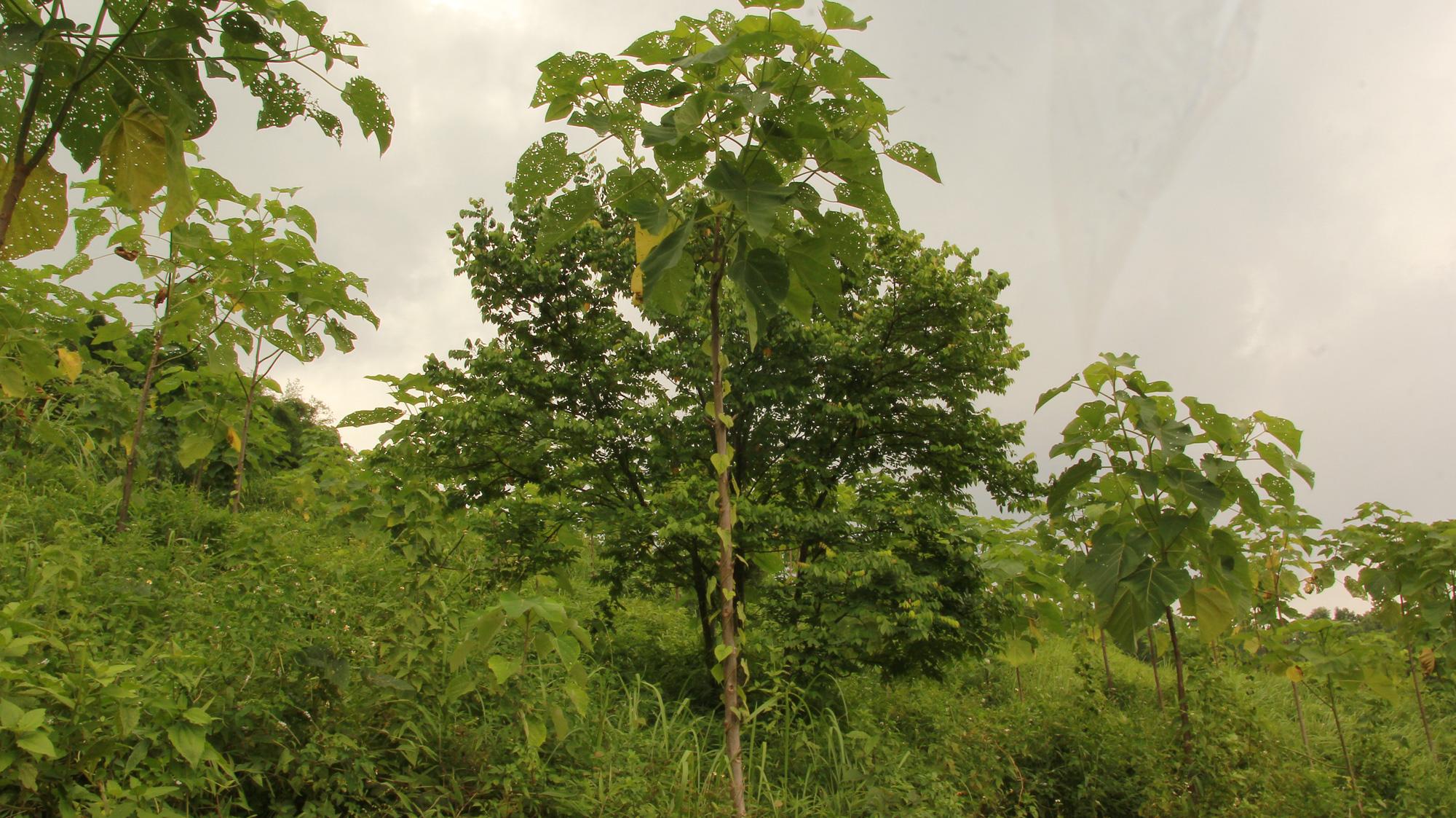 Hà Nội: Nông dân trồng thứ cây gì mà được Cục trồng trọt cấp bằng bảo hộ tới 25 năm, quý hơn gỗ pơ mu? - Ảnh 2.