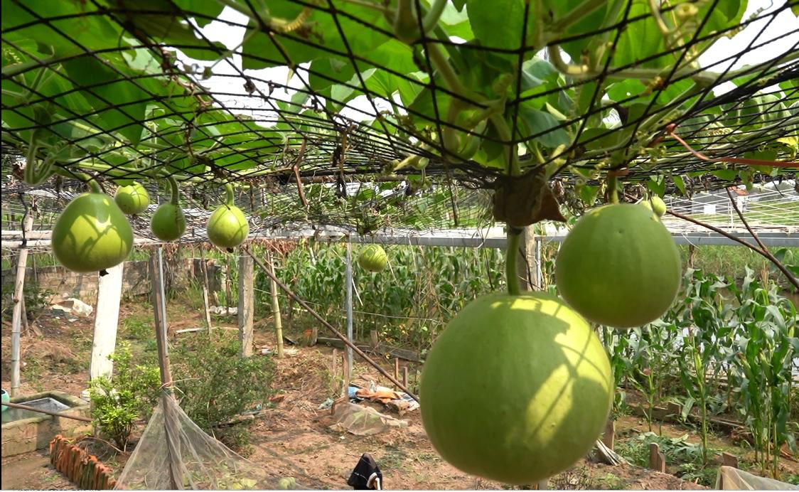 Hải Phòng: Giống bầu lạ, quả tròn khổng lồ mỗi trái nặng 15kg ăn cả tuần không hết - Ảnh 4.