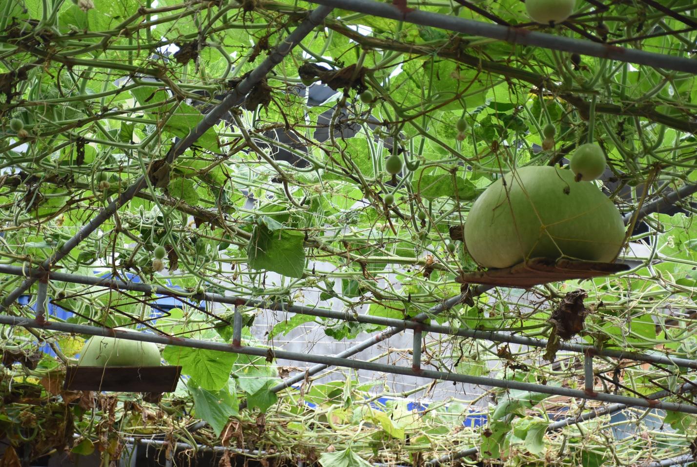 Hải Phòng: Giống bầu lạ, quả tròn khổng lồ mỗi trái nặng 15kg ăn cả tuần không hết - Ảnh 5.