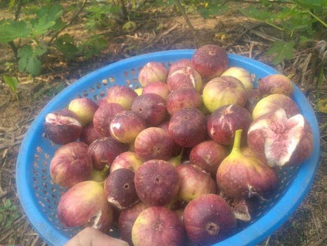 Nghệ An: Trồng cây sung Mỹ trên vùng đất đỏ bazan, anh nông dân xứ Nghệ hái quả bán quanh năm   - Ảnh 5.