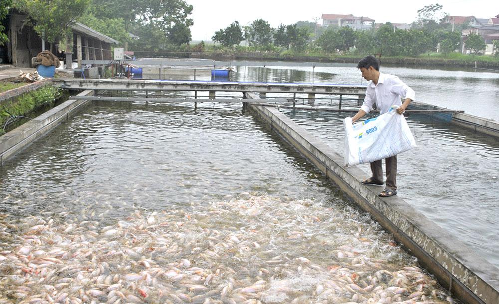 """Phú Thọ: Nuôi cá công nghệ """"sông trong ao"""", đổ cám xuống cá ăn rào rào, nhà nào """"liều"""" thì """"ăn nhiều"""" - Ảnh 1."""