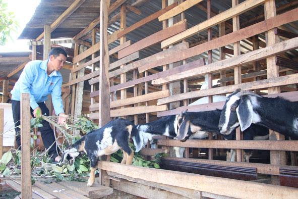 Đắk Lắk: Người trồng lung tung trong vườn cà phê bất ngờ lời 1,5 tỷ/năm, kẻ nuôi con tai dài tới mỏm cũng giàu lên - Ảnh 1.