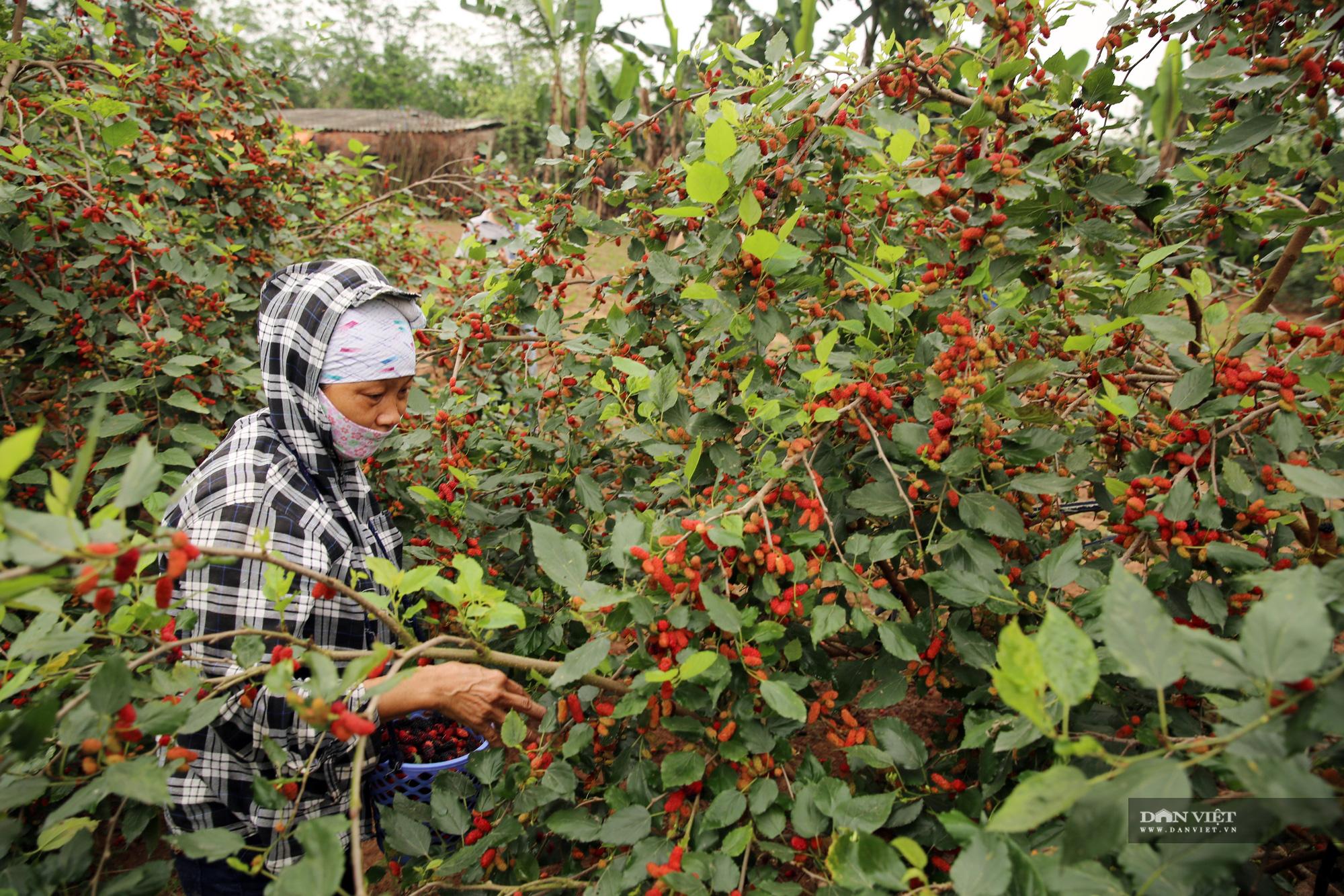 Nhộn nhịp mùa thu hoạch loại quả dùng để ngâm đường, lá cho tằm ăn ở Hà Nội - Ảnh 4.