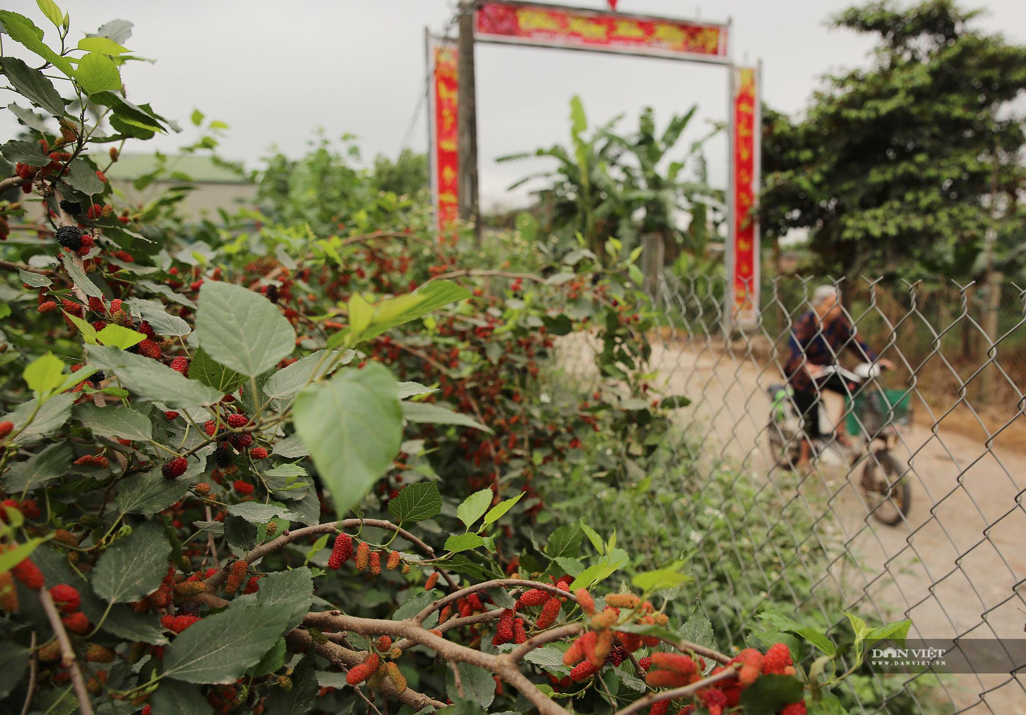 Nhộn nhịp mùa thu hoạch loại quả dùng để ngâm đường, lá cho tằm ăn ở Hà Nội - Ảnh 1.