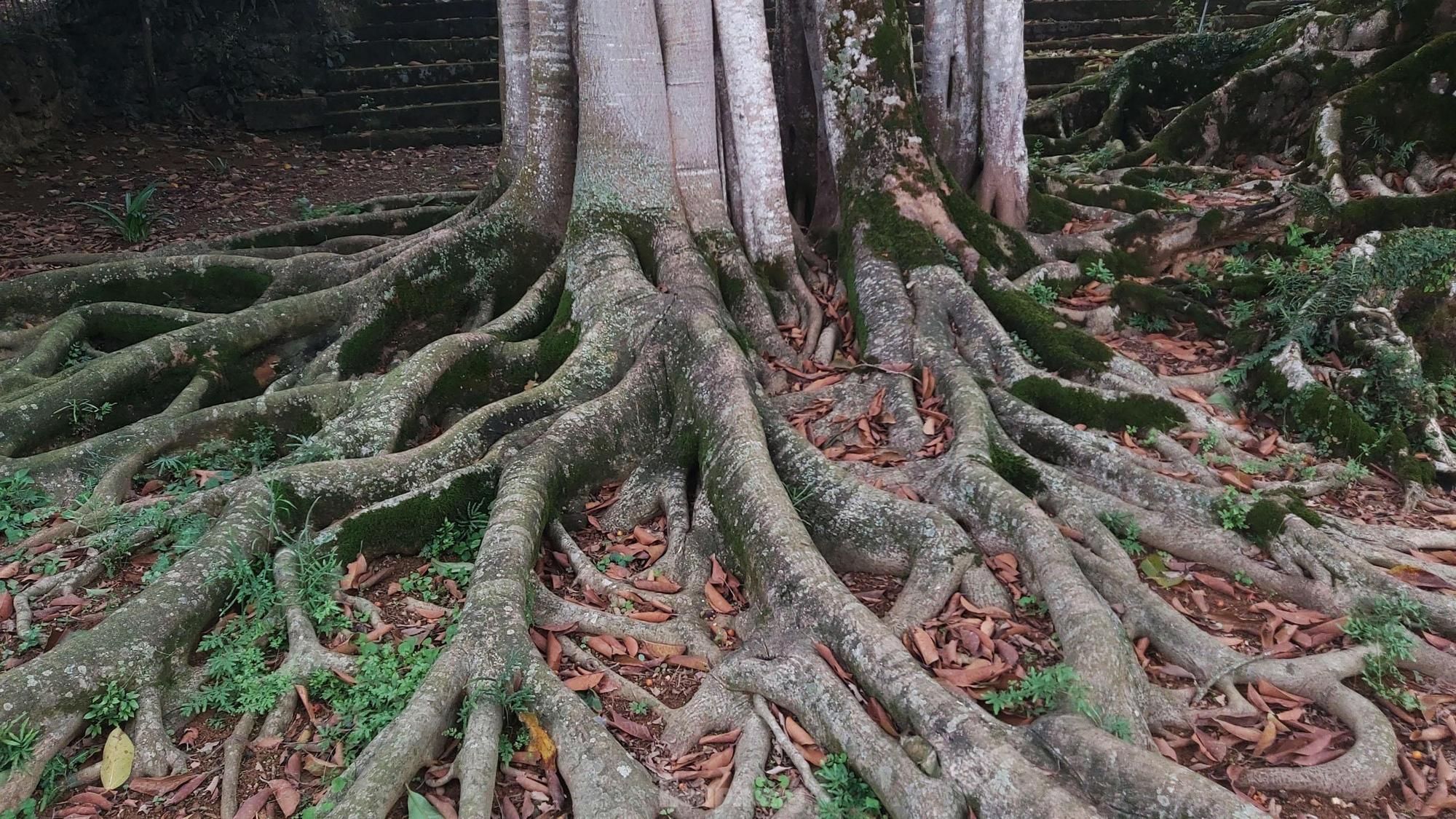 """""""Quái cây"""" đa Thần Rùa hàng ngàn năm tuổi với bộ rễ quá khủng như những con rắn khổng lồ - Ảnh 5."""