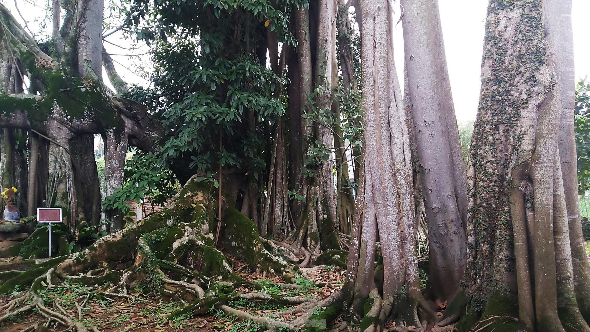 """""""Quái cây"""" đa Thần Rùa hàng ngàn năm tuổi với bộ rễ quá khủng như những con rắn khổng lồ - Ảnh 3."""