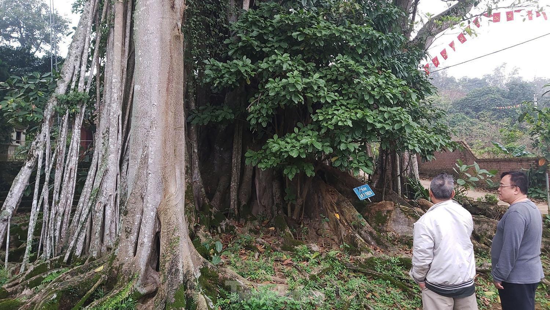"""""""Quái cây"""" đa Thần Rùa hàng ngàn năm tuổi với bộ rễ quá khủng như những con rắn khổng lồ - Ảnh 9."""
