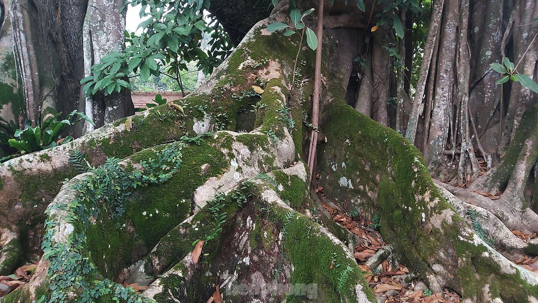 """""""Quái cây"""" đa Thần Rùa hàng ngàn năm tuổi với bộ rễ quá khủng như những con rắn khổng lồ - Ảnh 6."""