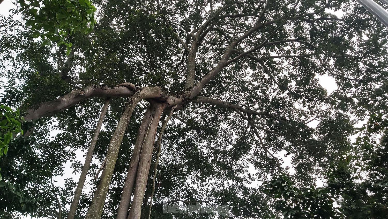 """""""Quái cây"""" đa Thần Rùa hàng ngàn năm tuổi với bộ rễ quá khủng như những con rắn khổng lồ - Ảnh 10."""