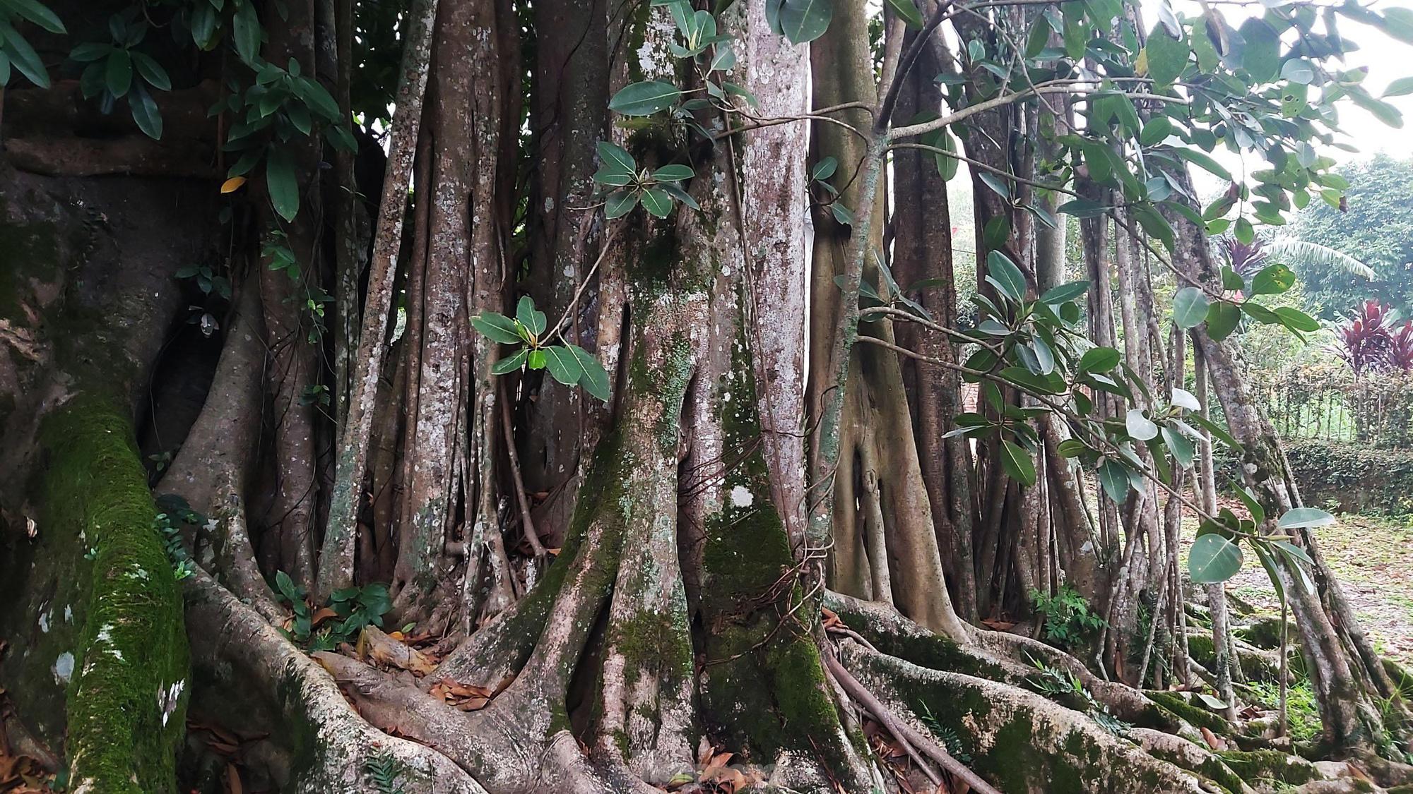 """""""Quái cây"""" đa Thần Rùa hàng ngàn năm tuổi với bộ rễ quá khủng như những con rắn khổng lồ - Ảnh 7."""