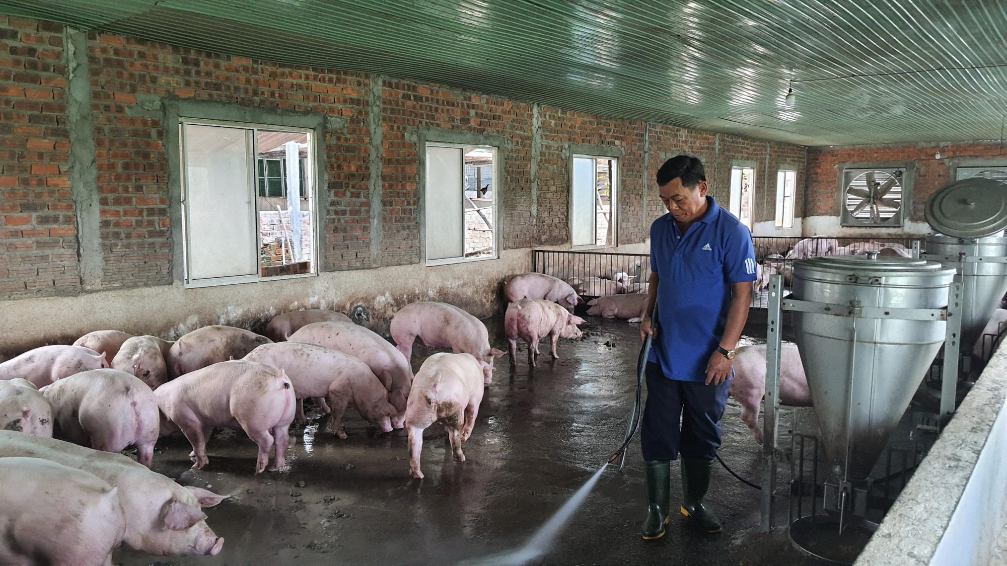 Được Agribank tiếp vốn, một nông dân ở Đà Nẵng vững tin tái đàn lợn lãi hơn 500 triệu đồng/năm - Ảnh 1.