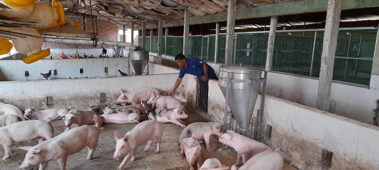 Được Agribank tiếp vốn, một nông dân ở Đà Nẵng vững tin tái đàn lợn lãi hơn 500 triệu đồng/năm - Ảnh 5.