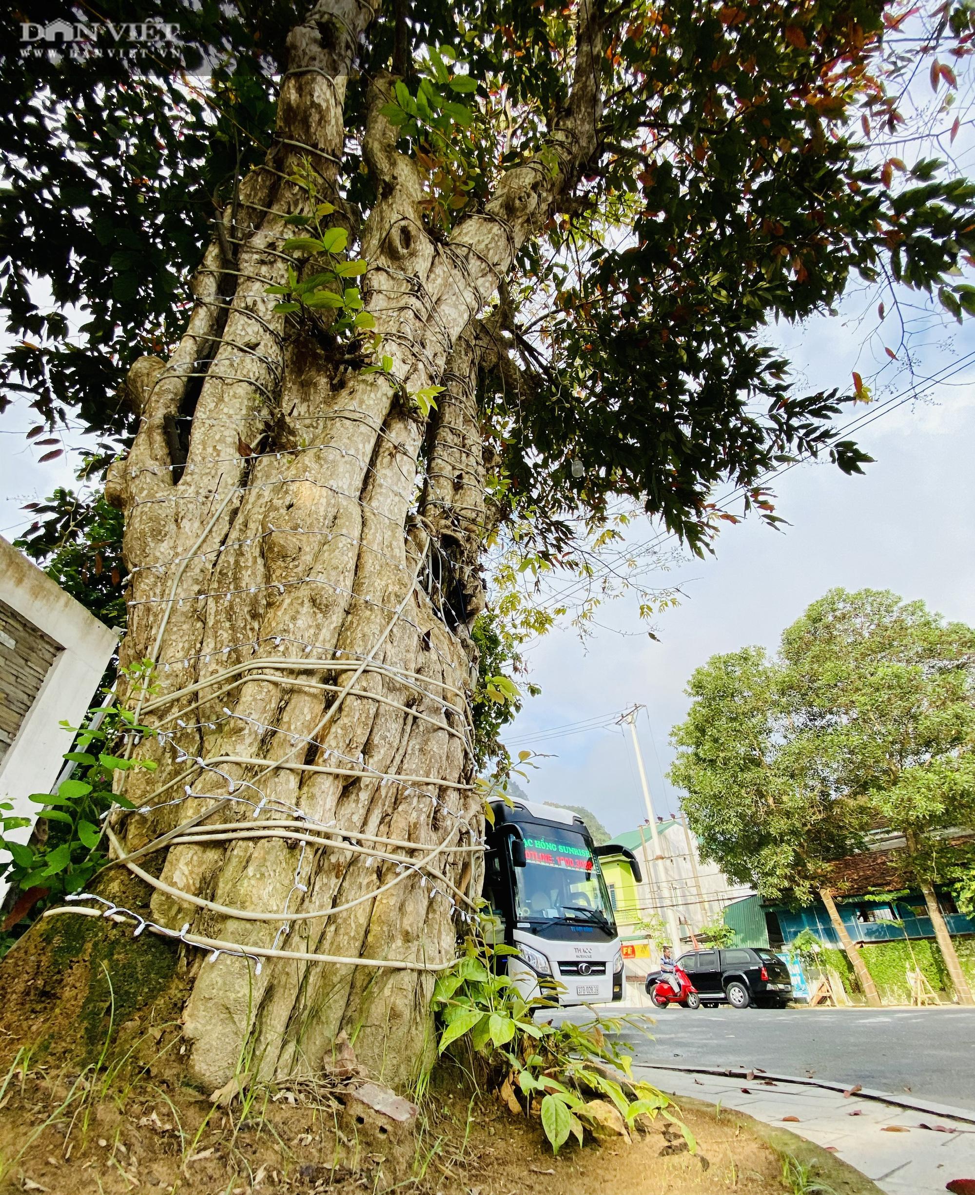 Sau loạt bài Điều tra của Dân Việt: Hà Nội xử lý 07 vụ vi phạm liên quan đến kinh doanh cây cổ thụ - Ảnh 1.