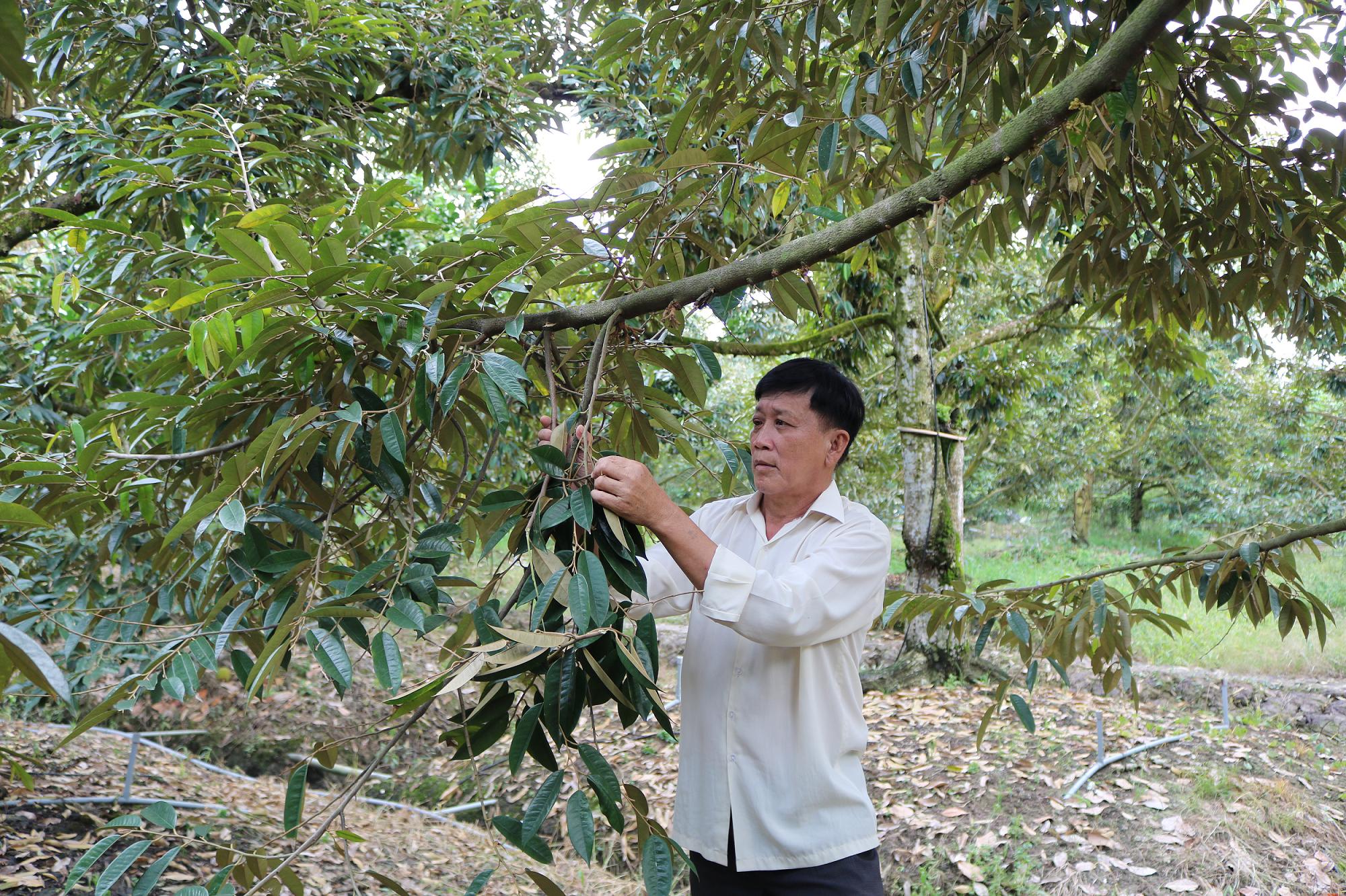 Tiền Giang: Giá loại trái gai góc này đang lập đỉnh, nông dân vét vườn bán trái thu tiền mỏi tay - Ảnh 3.