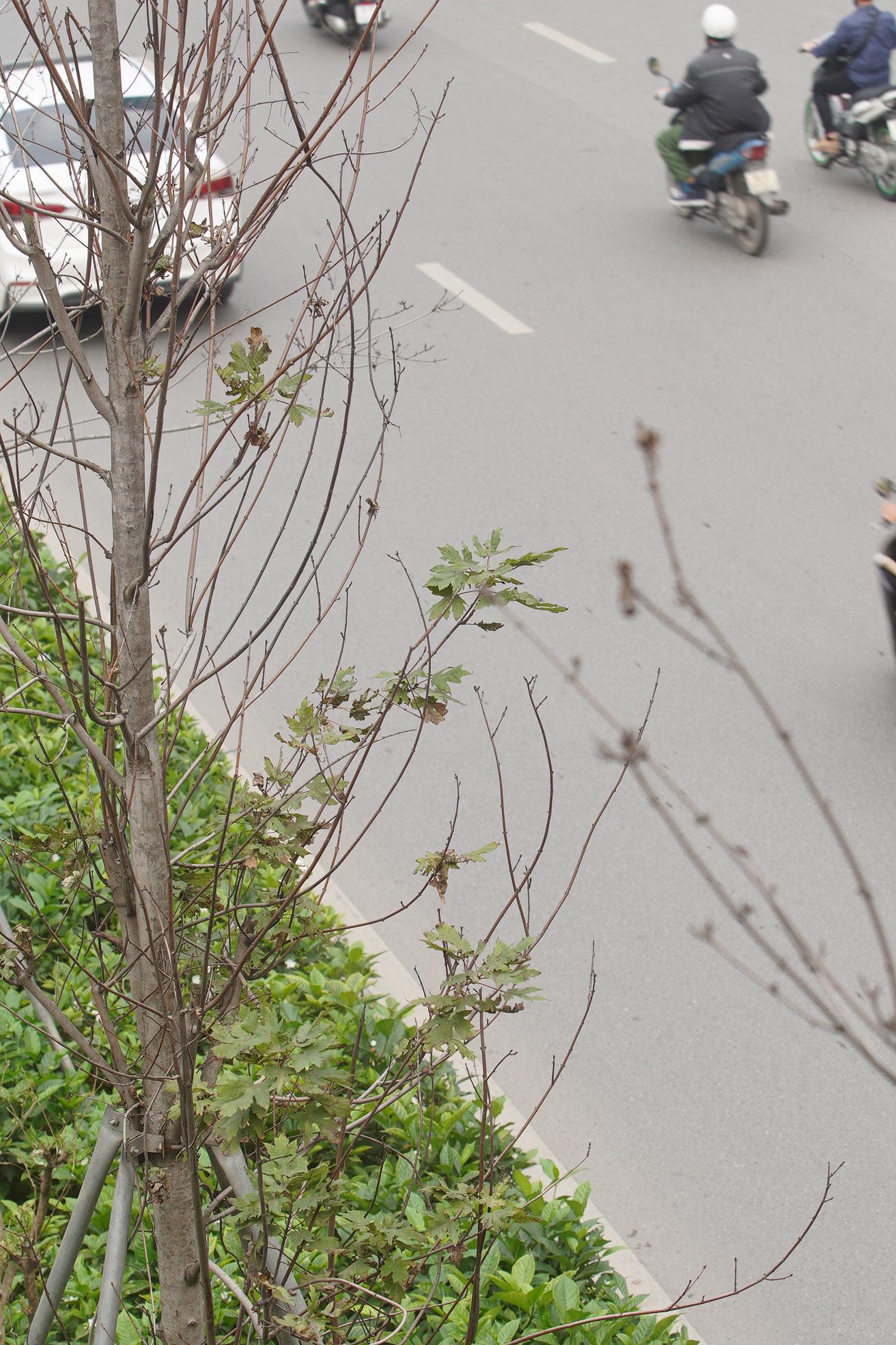Công ty cây xanh nói gì khi trồng bàng lá nhỏ thay phong lá đỏ trên tuyến đường đẹp nhất Hà Nội? - Ảnh 5.
