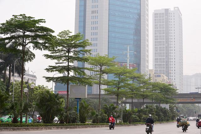 Công ty cây xanh nói gì khi trồng bàng lá nhỏ thay phong lá đỏ trên tuyến đường đẹp nhất Hà Nội? - Ảnh 4.