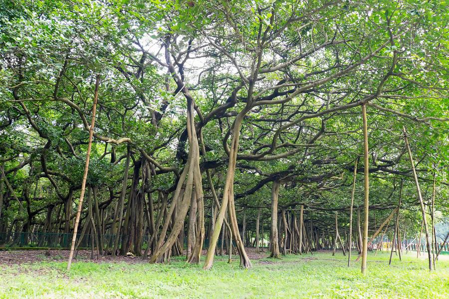 """""""Quái đa"""" đại thụ khổng lồ ít nhất 250 năm tuổi, tán cây phủ rộng cứ ngỡ là cả một khu rừng - Ảnh 2."""