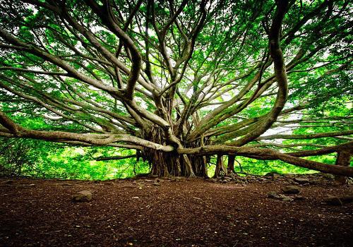"""""""Quái đa"""" đại thụ khổng lồ ít nhất 250 năm tuổi, tán cây phủ rộng cứ ngỡ là cả một khu rừng - Ảnh 3."""