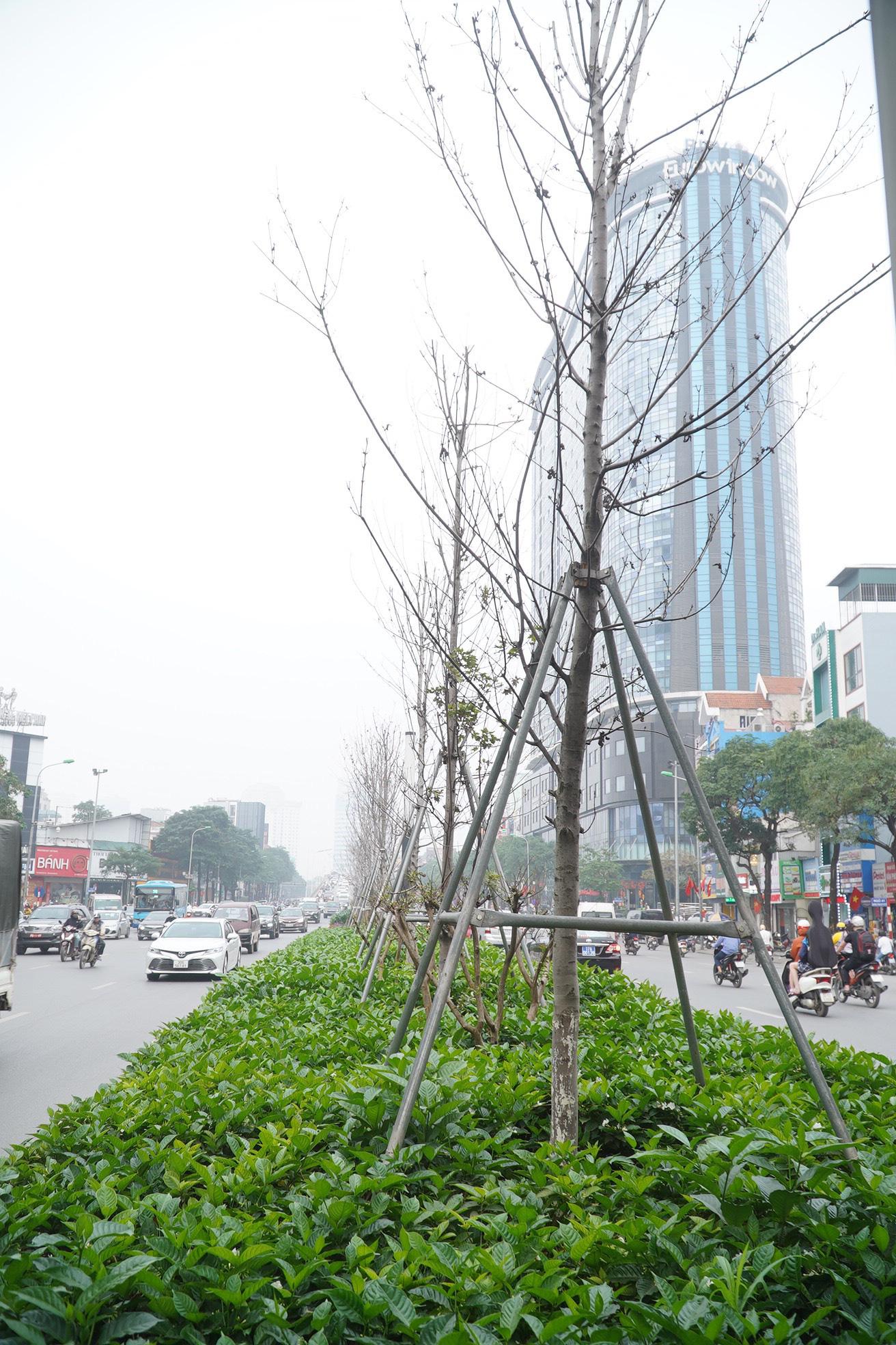 Công ty cây xanh nói gì khi trồng bàng lá nhỏ thay phong lá đỏ trên tuyến đường đẹp nhất Hà Nội? - Ảnh 2.