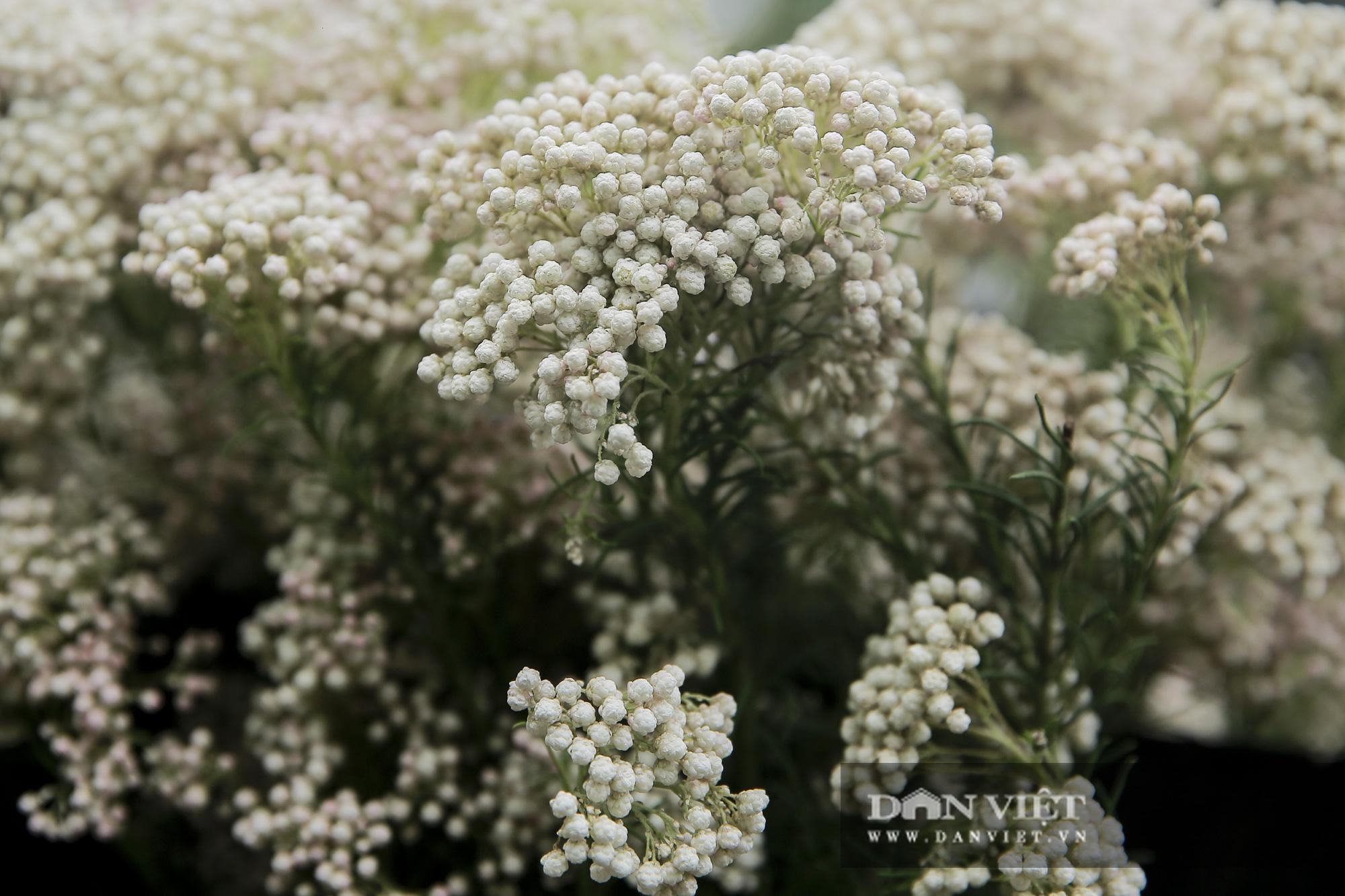 Người Hà Nội phát sốt với loài hoa nhập ngoại mới - Ảnh 4.