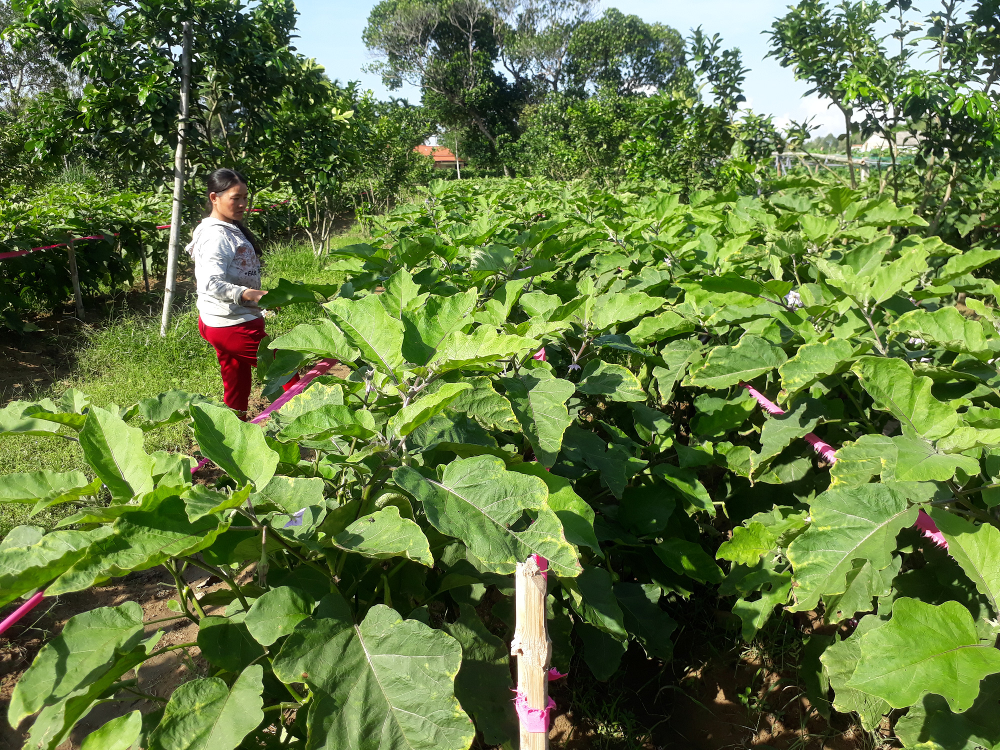 Quảng Nam: Thành phố Tam Kỳ đạt chuẩn Nông thôn mới, dân vùng nông thôn có thu nhập gần 54 triệu đồng/năm - Ảnh 3.