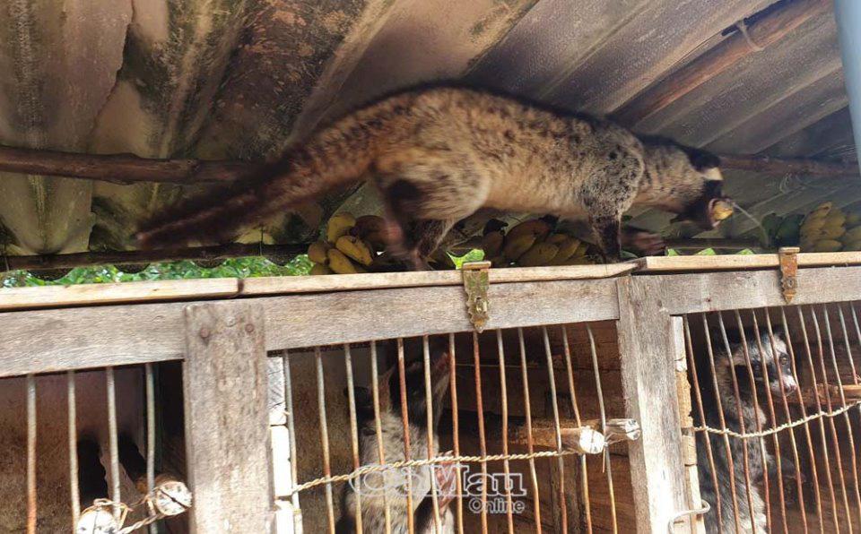 Cà Mau: 150 con chồn nuôi chết bất thường, UBND huyện Ngọc Hiển khuyến cáo người dân điều này - Ảnh 1.