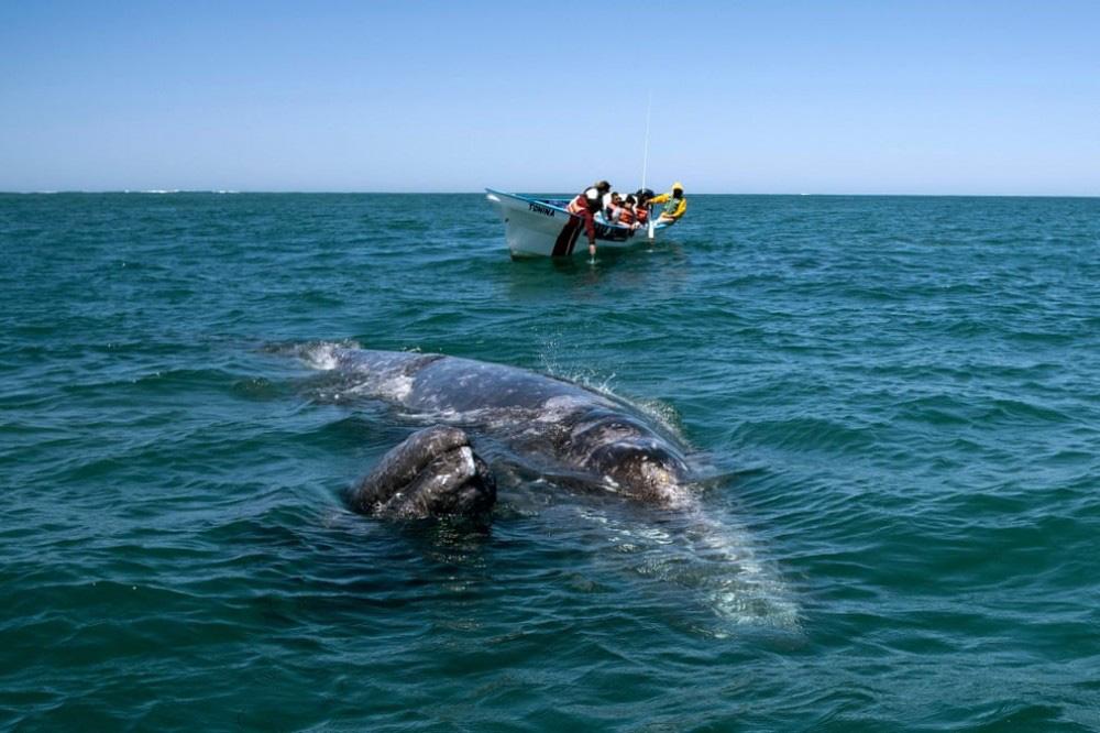 Trải nghiệm chơi đùa cùng cá voi xám khổng lồ ở Mexico - Ảnh 3.