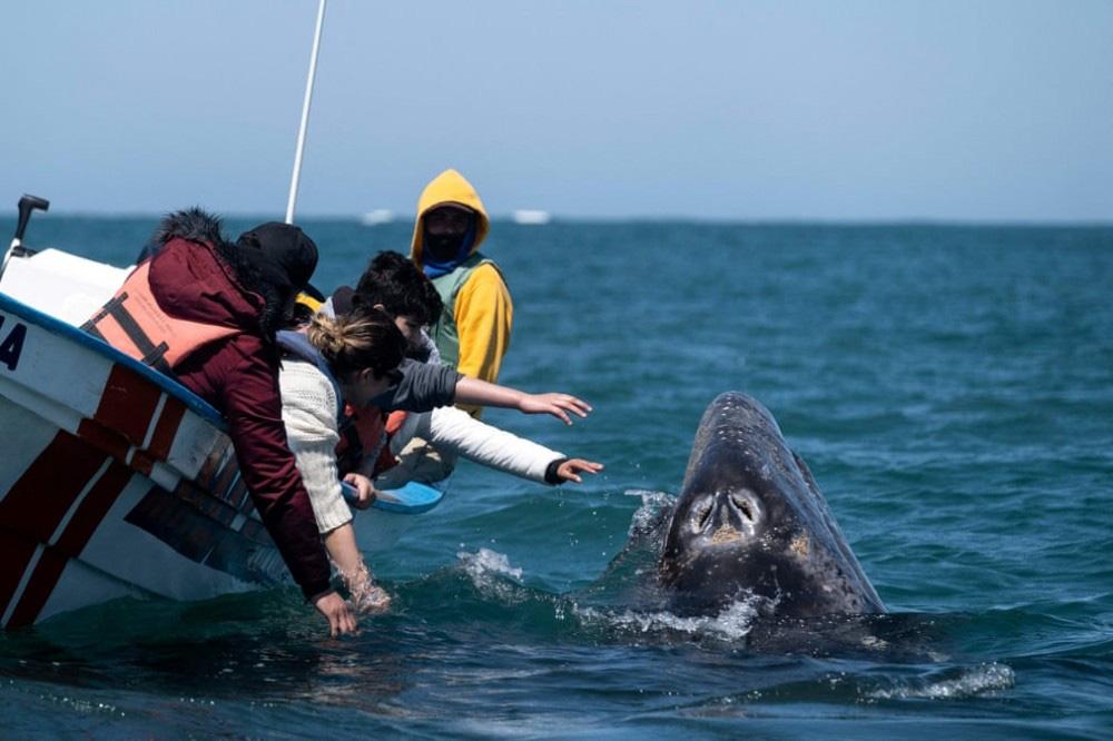 Trải nghiệm chơi đùa cùng cá voi xám khổng lồ ở Mexico - Ảnh 4.