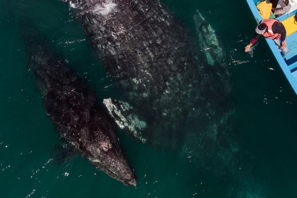 Trải nghiệm chơi đùa cùng cá voi xám khổng lồ ở Mexico - Ảnh 6.