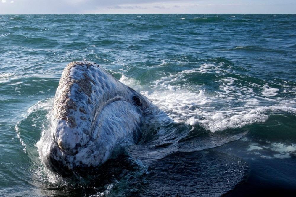 Trải nghiệm chơi đùa cùng cá voi xám khổng lồ ở Mexico - Ảnh 7.