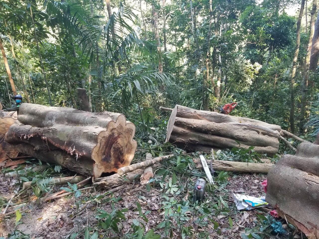 Lâm tặc đem cưa máy phá rừng Kông Chro - Ảnh 1.