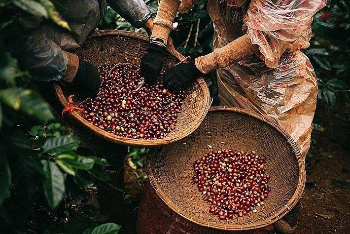 Giá nông sản hôm nay 7/4: Cà phê tăng nhẹ, giá tiêu trong nước ở mức cao - Ảnh 1.