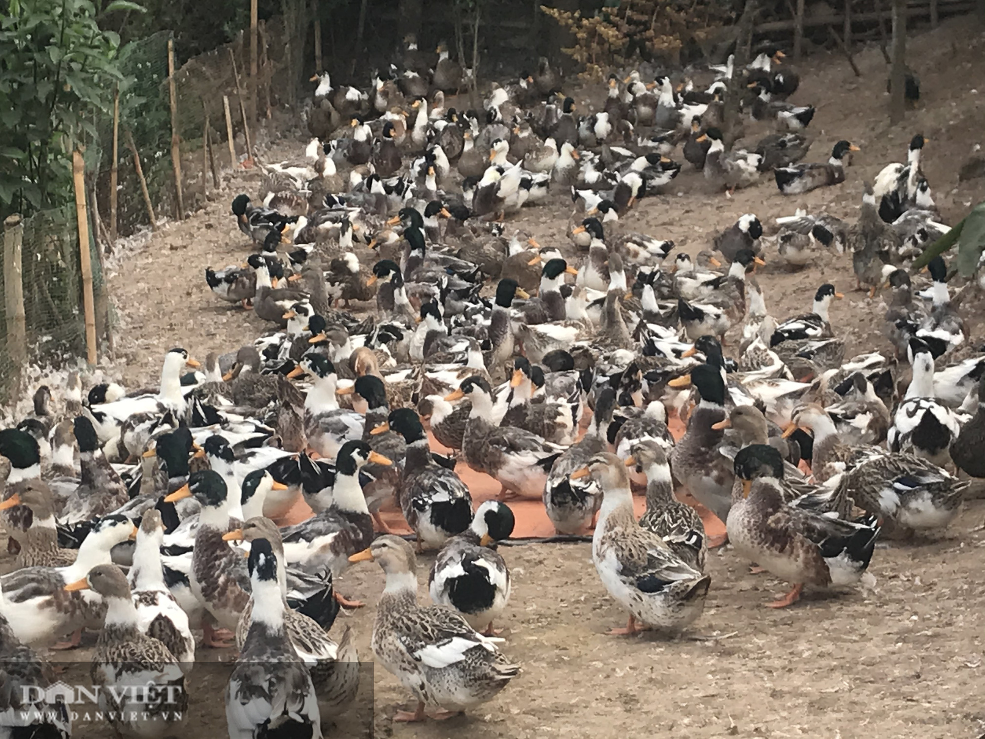 Nuôi con lông xám, ánh xanh lam, xanh lục, 1 nông dân đút túi cả trăm triệu đồng - Ảnh 5.