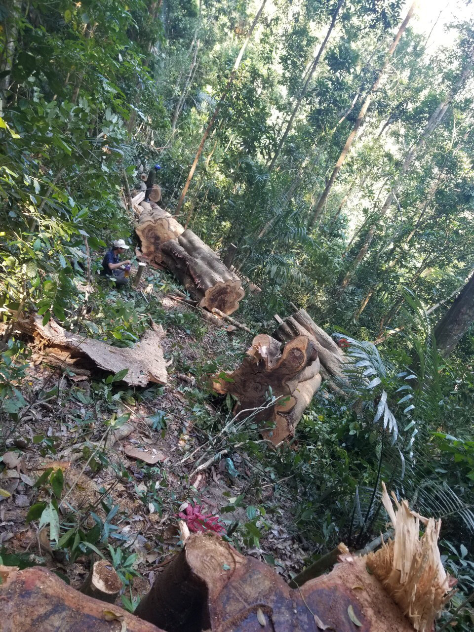 Lâm tặc đem cưa máy phá rừng Kông Chro - Ảnh 2.