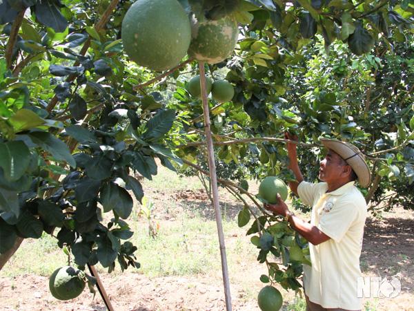 """Ninh Thuận: Vùng đất này """"ông trời tiết kiệm nước mưa"""", dân trồng bưởi da xanh trái to bự, khách đến xem bất ngờ - Ảnh 1."""